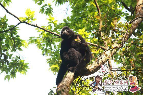 2014年黑冠长臂猿保护宣传周