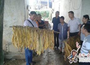 县人大常委会领导调研安定、太忠烤烟生产工作