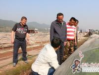 县领导到文井镇检查指导烤烟移栽工作
