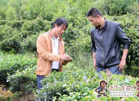 【砥砺奋进的五年】高山上的绿色崛起 ——景东县大朝山东镇茶叶产业发展纪实