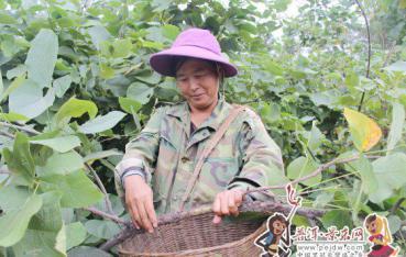 【脱贫攻坚进行时】漫湾镇:紫胶产业成为农民增收的重要渠道