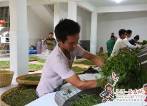 【脱贫攻坚进行时】景东:春茶上市  助农增收促脱贫