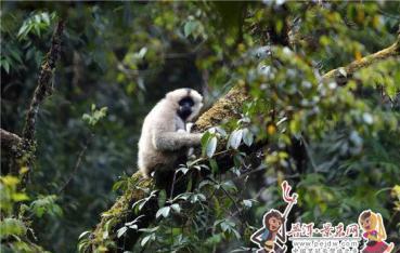 无量花开猿闹春 抛接树花入镜来