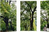 龙街乡:古树核桃迸发新活力