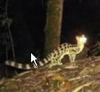 景东无量山自然保护区首次拍摄到斑灵狸影像